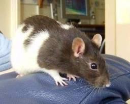 Quero ratos twiste para pet