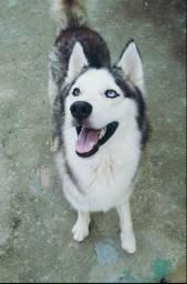 Husky Siberiano Casal