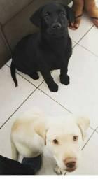 Vendo Labrador
