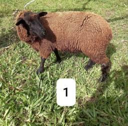 Ótimos carneiros