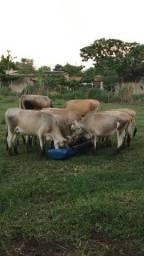 Título do anúncio: Novilhas e vacas Jersey