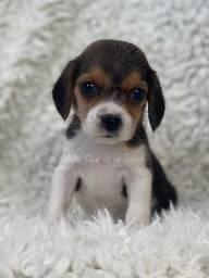 Linda fêmea da Beagle!