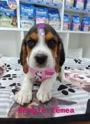 Beagle femea tricolor venha conferir, tem garantia e procedência!