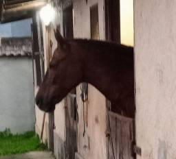 Égua mangalarga registrada