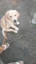 Cachorro labrador com três meses muito bonito e inteligente