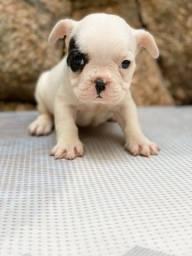 Título do anúncio: Bulldog Francês Disponível