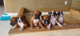 Título do anúncio: Boxer filhotes lindos e saudáveis
