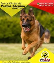 Filhotes de Pastor Alemão com Pedigree você encontra aqui (Reserva) - Pet Dog Arapiraca