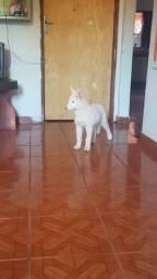 Vende-se filhote fêmea de Husky Siberiano