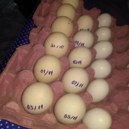 Ovos de Brahma Light