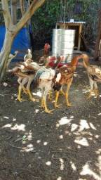 Frangas e frangos índio