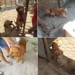 Vende se ou troca cachorros Golden Retriver