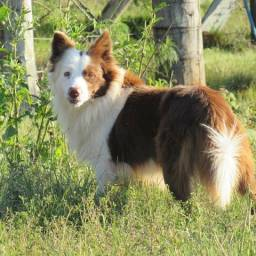 Border Collies lindos filhotes com registro