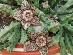 Vendo mudas de suculenta orbea variegata flor lagarto -asclep