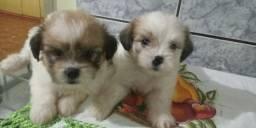 Filhotes d lhasa apso