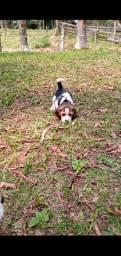 Filhote de Beagle Fêmea Tricolor