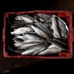 Isca p/ peixe