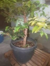 Título do anúncio: Pre bonsai jabuticaba