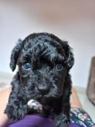 Título do anúncio: Poodle macho lindo