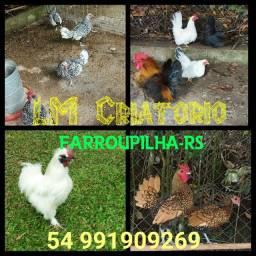 Mini galinhas