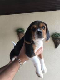 Filhotes Beagle - Fêmea