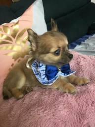 Chihuahua pêlo longo