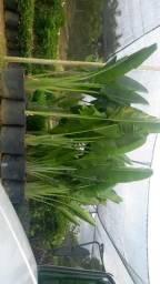 Mudas ornamentais e palmeiras