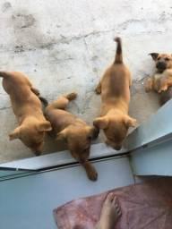 Doa-se filhotes de cachorro chow-chow fêmea 2 meses