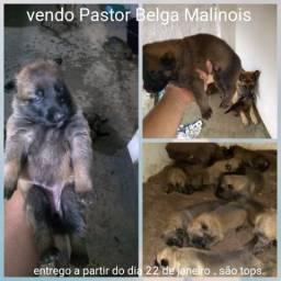 Pastor Belga MALINOIS (MALINOA)