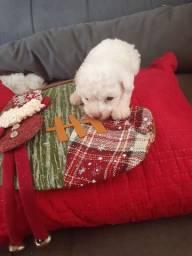 Filhotinho de poodle disponivel