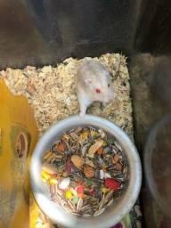 Título do anúncio: Hamster anão russo albino casal