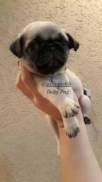 Título do anúncio: Pugs legítimos lindos