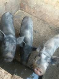 Título do anúncio: Vende se porcos caipira