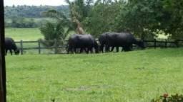 Alugo Pasto para Bufalos