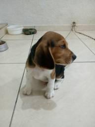 Beagle mini tricolor