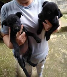 Doa-se duas cadelas femeas
