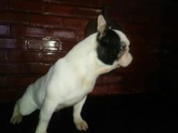 Bulldog francês para quem quer fazer uma criação de adultos pedigree