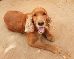 Cachorro da raça Cocker Spaniel Inglês para cobertura Ji-parana