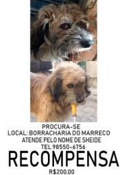 Cachorro desaparecido no bairro vista alegre, pago recompensa