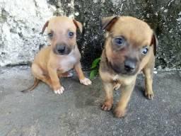 Doa-se cachorrinhos machos