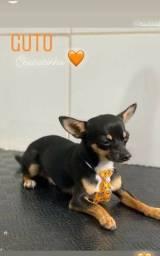 Chihuahua procuro uma namorada, sou Guto.