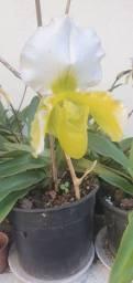 Tamanquinho de princesa / plantas