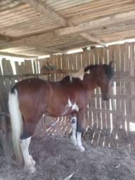 Cavalo pampa mangalarga ,registrado ,8 anos