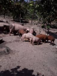 Tenho porco pra vender pode ser pra abati e também pra reprodução
