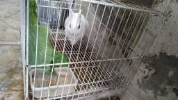 Título do anúncio: Casal de coelhos hotot + Gaiolas