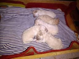 Título do anúncio: Vendo lindos filhotes de poodle