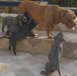 Filhotes de monster pitbull