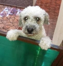 Cachorra Poodle com Lhasa Apso