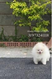 Título do anúncio: Lulu da Pomerania ursinho Machinho
