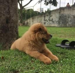Filhote Chow Chow 3 meses